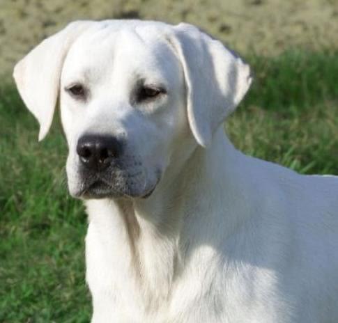 White Labrador Digitizing Before
